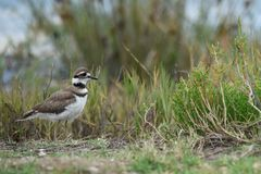 Strolling killdeer profile Royalty Free Stock Photos