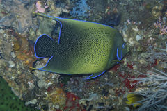 Elegant Koran Angelfish off Padre Burgos, Leyte, Philippines. The diving around the small but vibrant town of Padre Burgos, is a real paradise for divers and Royalty Free Stock Image