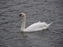 elegant lakeswan Royaltyfri Bild