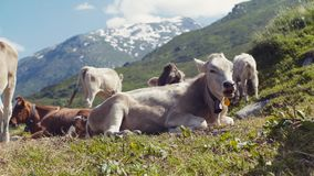An elegant, large cow is laying on the green grass of alpine meadow, chewing the grass. A numerous herd and snowy high stock video footage