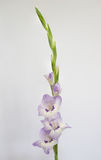 Elegant lilac gladioli Royalty Free Stock Photos