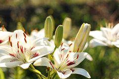Elegant  lilies on a background of the garden. Elegant white lilies on a background of the garden Royalty Free Stock Image