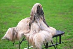 Elegant Longhair hundnärbild för afghansk hund fotografering för bildbyråer