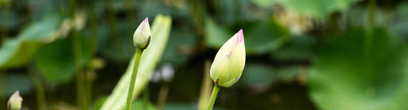 Elegant lotus buds or Nelumbo over green background, panoramic view Royalty Free Stock Photography