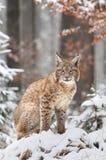 Elegant lynx Royalty Free Stock Image