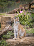 Elegant lynx Stock Photo