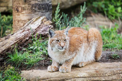 Elegant lynx Stock Photography