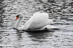 Elegant Mute Swan Stock Photo