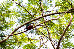 Elegant Nibbler. An elegant nibbler perched in a tree in Costa Rica Royalty Free Stock Photography