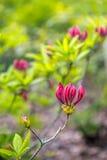 Elegant ontluikende purpere bloemen en verse groene bladeren van een CH royalty-vrije stock fotografie