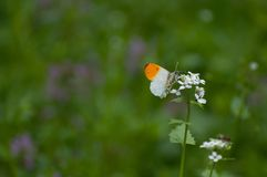 Elegant orange and white butterfly Anthocharis cardamines. During summer royalty free stock image