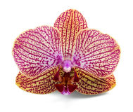 Elegant orchidea Stock Photography