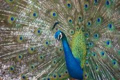 Elegant påfågel med vibrerande färger som av visar hans fjädrar royaltyfria bilder