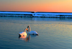 Swans couple on the lake Royalty Free Stock Photo