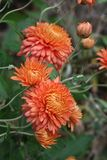 Elegant pale coral-gold chrysanthemums sway on fine stems above an autumn garden  garden. Elegant pale coral-gold chrysanthemum flowers and buds sway on fine Royalty Free Stock Images