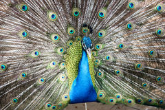 Elegant Peacock. Was showing beautiful tail royalty free stock photography