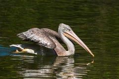 Elegant pelikan Arkivfoto