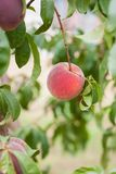 A ripe peach ready for picking, vertical orientation. stock image