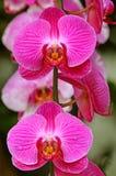 Elegant pink moth orchids royalty free stock image