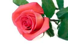 Elegant pink rose Stock Photo