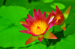 Elegant pink water lily Stock Images
