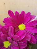 Elegant Pink Yellow Royalty Free Stock Images
