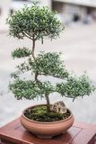 Elegant potted bonsai side view royalty free stock image