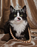 Elegant Princess Long Hair Tuxedo Kitten Royalty Free Stock Photography