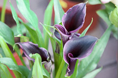 Elegant purple calla lily . Blooming Flowers black calla lilies with green leaves Stock Image