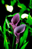 Elegant purple calla lily . Blooming Flowers black calla lilies with green leaves Stock Photos