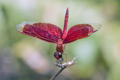 Elegant red dragonfly Royalty Free Stock Photo