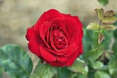 Elegant Red Rose Stock Photos