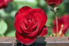 Elegant Red Rose Stock Image