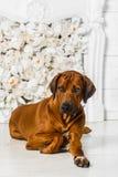 Elegant Rhodesian Ridgeback dog in front of stylized flower fire. A beautiful elegant Rhodesian Ridgeback dog lying in front of a stylized flower fireplace Stock Photos
