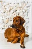 Elegant Rhodesian Ridgeback dog in front of stylized flower fire. A beautiful elegant Rhodesian Ridgeback dog lying in front of a stylized flower fireplace Stock Images
