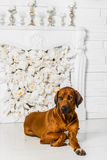 Elegant Rhodesian Ridgeback dog in front of stylized flower fireplace. A beautiful elegant Rhodesian Ridgeback dog lying in front of a stylized flower fireplace Stock Photography
