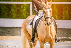 Elegant rider woman and sorrel horse. Beautiful girl at advanced dressage test on equestrian competition. Professional female horse rider, equine theme. Saddle Royalty Free Stock Image