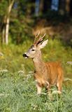 Elegant roe deer Stock Photo