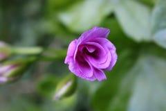 Elegant rosa färgblomma Royaltyfri Foto
