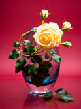 Elegant rose in glass vase on pink Stock Images