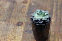 Elegant rosette, stone lotus plant nematodes Stock Image