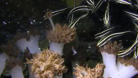 Elegant school of Catfish eels Plotosus lineatus in Raja Ampat stock video footage