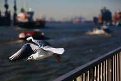 An elegant sea gull Royalty Free Stock Images