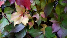 Elegant shaped yellow leaf branch. Of fresh wild grape Parthenocissus quinquefolia. Fall grapevine foliage background. Bright colors of fall season. Variegated stock images