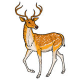 Elegant sika deer Stock Photo