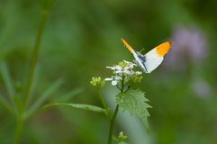 Elegant small orange and white butterfly Anthocharis cardamines. Elegant orange and white butterfly Anthocharis cardamines searching for nectar royalty free stock images