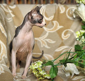 Elegant sphinx. On the sofa Royalty Free Stock Photography