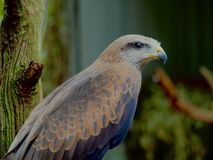 Elegant Black Kite. royalty free stock photo