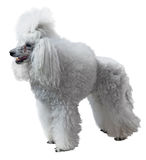 Elegant standart Poodle Royalty Free Stock Photos