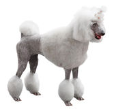 Elegant standart Poodle Royalty Free Stock Photo